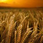 問題なかったはずの小麦でさえも、危険なものになった理由